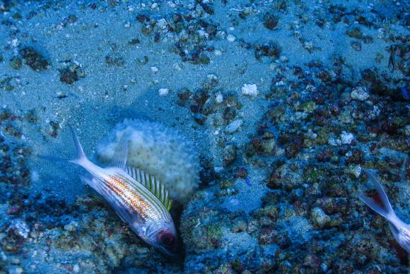 O tamanho dos recifes de corais da Amazônia também surpreendeu os tripulantes. Foto: Greenpeace/Divulgação