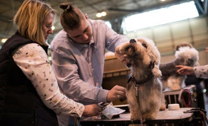 Os dandie dinmont terrier estiveram muito na moda no século XIX. Foto: AFP / Oli SCARFF