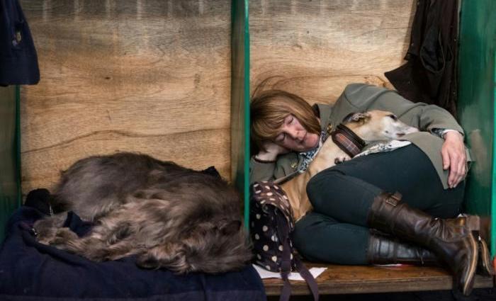 No entanto, os otterhound se adaptaram facilmente como dóceis pets familiares. Foto: AFP / Oli SCARFF