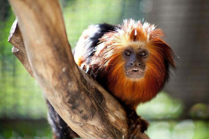 Equipes da AMDL passaram a vasculhar a mata com mais atenção, em busca de primatas que possam ter sido vítimas da febre amarela. Foto: Prefeitura de Belo Horizonte/Flickr