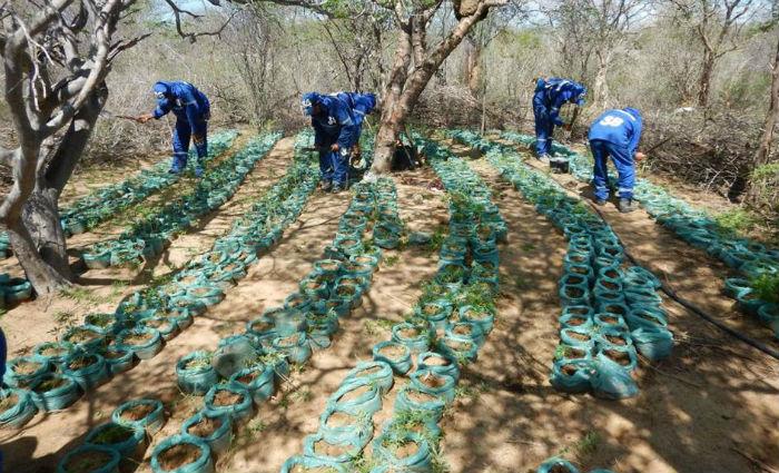 Resultado de imagem para 362 mil pes de maconha erradicados - diario de pernambuco