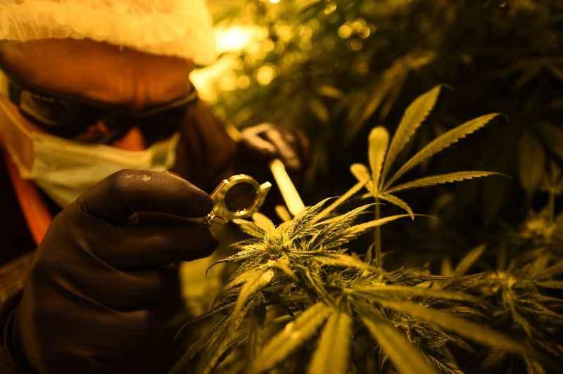 O cannabidiol (CBD) é derivado da planta da cannabis. Foto: filippo monteforte/AFP