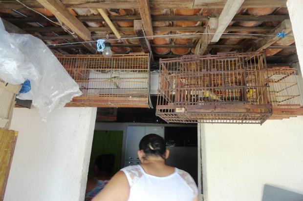 Numa operação realizada pela CPRH foram localizados numa só residência 34 canários-da-terra. Foto: CPRH/Divulgação (Numa operação realizada pela CPRH foram localizados numa só residência 34 canários-da-terra. Foto: CPRH/Divulgação)