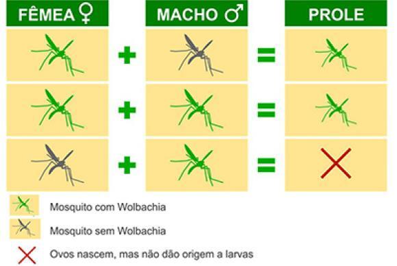 Fêmeas de mosquitos com Wolbachia sempre geram filhotes com WolbachiaIlustração: Fiocruz/Divulgação