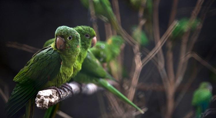 As aves são incentivadas a voar por dois poleiros distantes um do outro, com comida em ambos os lados. Foto: Mauro Pimentel/AFP