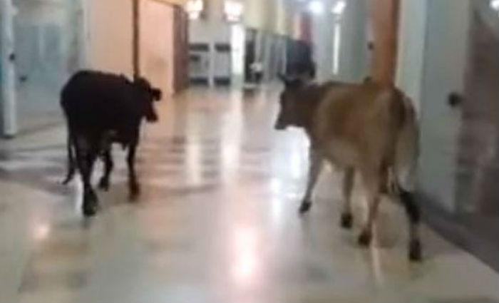 Vacas são flagradas 'passeando' em shopping no Sul de Minas. Foto: Reprodução/YouTube
