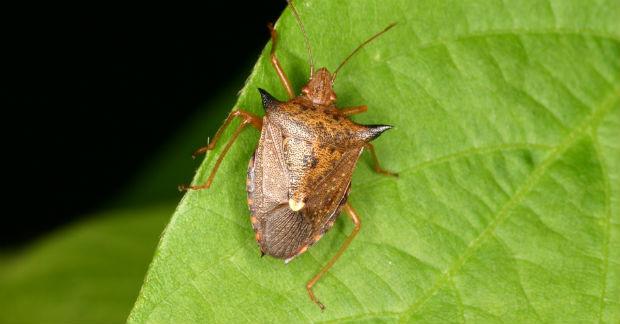 O percevejo comum, Cimex lectularius, é encontrado em climas temperados nos Estados Unidos e em partes da Europa. Foto: Reprodução/Internet