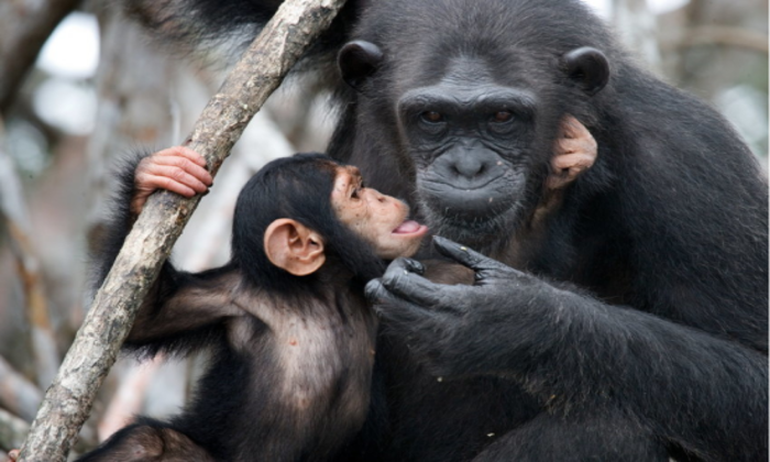 Cientistas analisaram dados coletados durante mais de 50 anos de 36 chimpanzés fêmeas do Parque Nacional de Gombe, na Tanzânia (©gudkovandrey/ Fotolia)