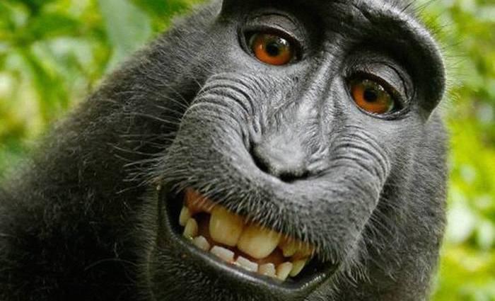 O macaco Naruto registrou a imagem em 2011. Foto: Reprodução/Internet