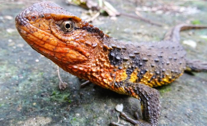 Crocodilo-lagarto . Foto: AFP PHOTO WWF Thomas Ziegler