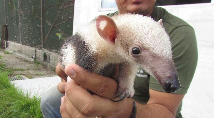 Caçador matou a mãe de filhote de tamanduá, e animal ainda foi atingido na orelha. Foto: CPRH/Divulgação