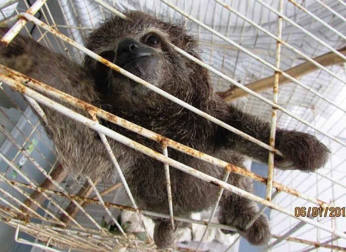 Mãe de filhote de preguiça foi morta por um cachorro. Animal também foi resgatado. Foto: CPRH/Divulgação