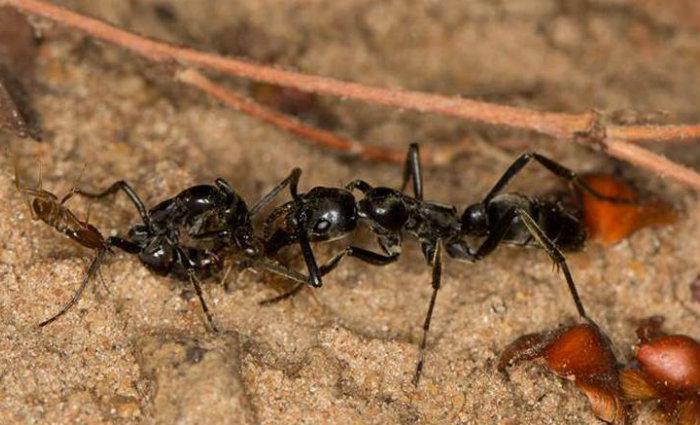 Formigas africanas feridas em guerra contra cupins, soltam feromônios solicitando ajuda de companheiras para receberem cuidados. Foto: AFP (Foto: AFP)