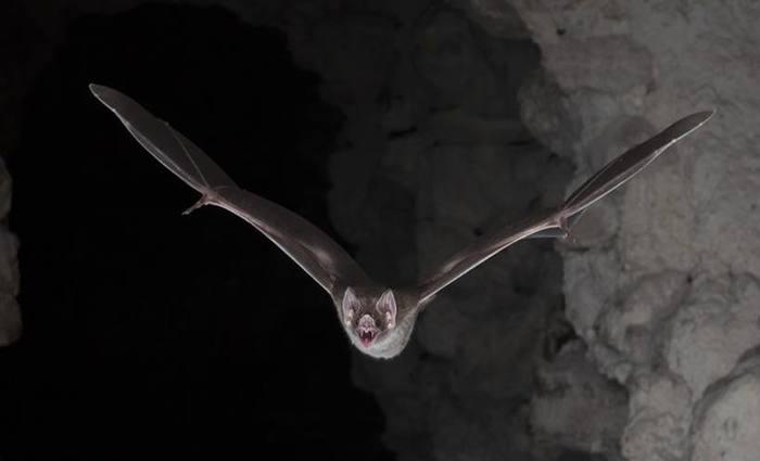 Com sua impressionante mandíbula, seus dois grandes dentes incisivos, e gosto pelo sangue o morcego construiu uma reputação assustadora. Foto: Brock Fenton /Nature Publishing Group/AFP