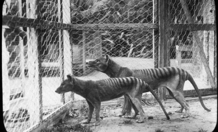 Tigres de Tasmânia fotografaram no zoológico de Beaumaris, no estado da Tasmânia, na Austrália, em 1918. Foto: Tasmanian Museum And Art Gallery/AFP (Foto: Tasmanian Museum And Art Gallery/AFP)
