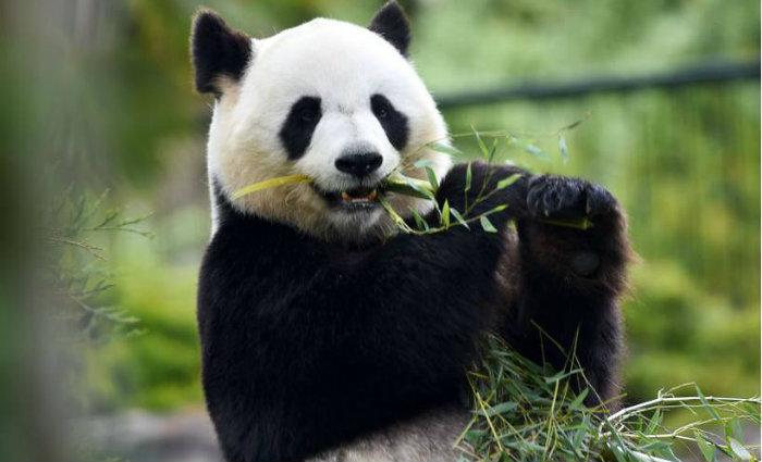 O objetivo é fazer com que os pandas que estão na natureza em diferentes regiões isoladas das províncias de Sichuan, Shaanxi e Gansu se misturem e reproduzam. Foto: GUILLAUME SOUVANT / AFP (Foto: GUILLAUME SOUVANT / AFP)