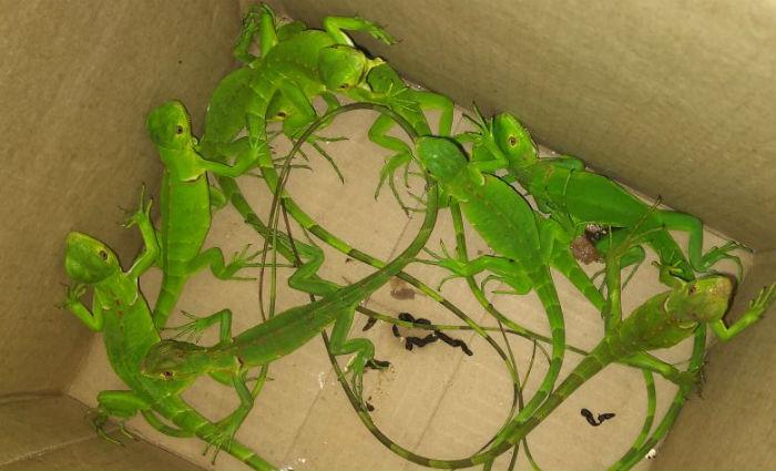 Quinze filhotes de iguanas e 30 pássaros são apreendidos no Grande Recife. Foto: Cetas/ Divulgação