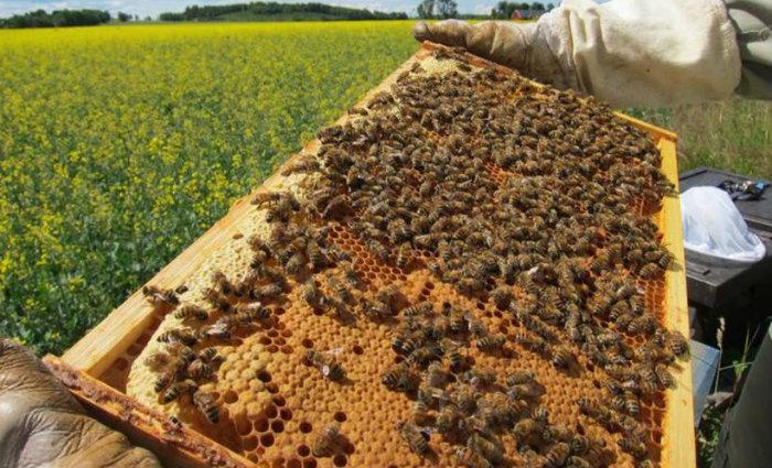 A apiterapia, que busca a cura por meio de produtos vindos das abelhas, está entre as práticas incluídas. Foto: Maj Rundlöf/Divulgação  (Foto: Maj Rundlöf/Divulgação )