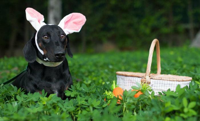 Com a chegada da Páscoa, os tutores alertas, pois o chocolate é um dos maiores vilões dentre os alimentos tóxicos para cães e gatos. Foto: Paulinha León/Fotografia