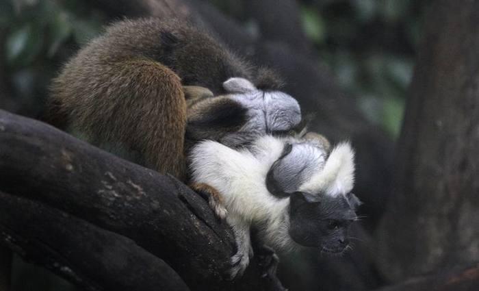 Ainda não se sabe o sexo dos dois filhotes de sauim-de-coleira. Foto: Toninho Tavares/Agência Brasília