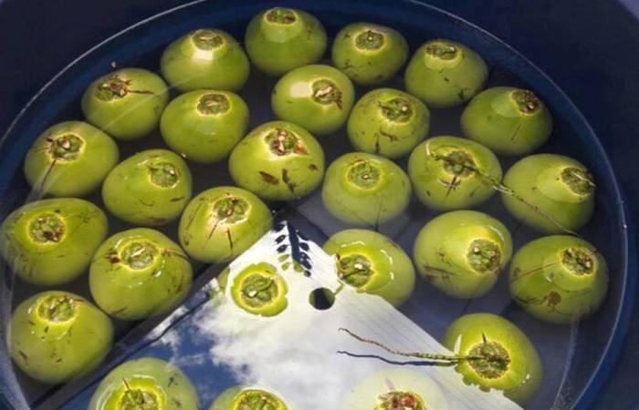Depois de higienizado, coco é submerso em um produto à base de polissacarídio e de outros compostos que mantêm as características da fruta por mais tempo. Foto: Embrapa/Divulgação