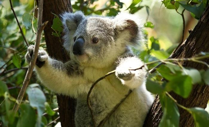 De acordo com a Fundação Australiana dos Coalas, o país tem apenas 43.000 exemplares destes marsupiais em liberdade. Foto: Pixabay/Reprodução