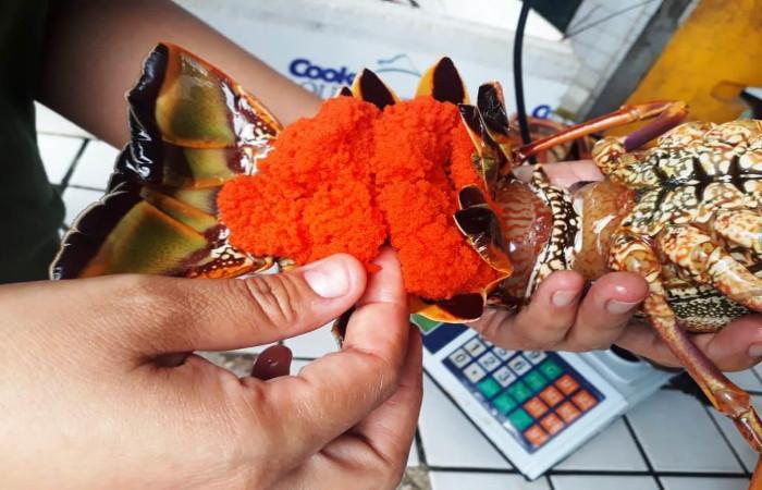 Duas das lagostas encontradas, congeladas, estavam ovadas. Foto: CPRH/Divulgação