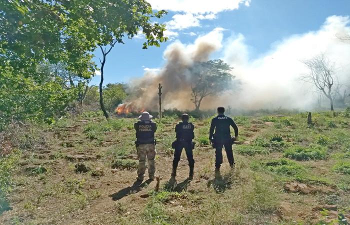 Ninguém foi localizado no terreno que abrigava as plantações ilegais, mas a polícia instaurou um inquérito do caso para encontrar o dono do terreno. Foto: Divulgação/Polícia Federal
