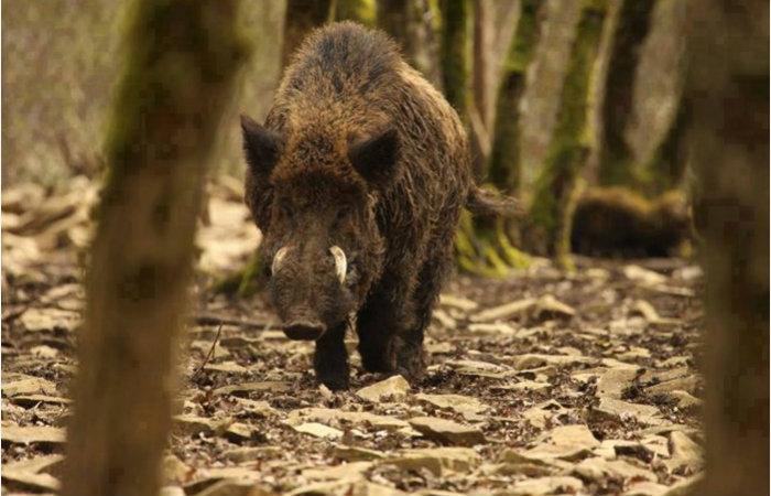 Deputado apresenta projeto para proibir a caça de Javali em São Paulo. Foto: Reprodução/Internet