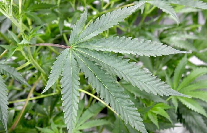 Plantio de maconha para pesquisa e preparo de medicamentos já é permitido em lei. Foto: Ethan Miller/Getty Images/AFP