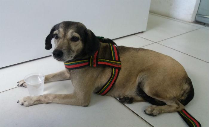 Nina foi resgatada depois de ser atropelada e estará buscando um lar. Foto: Divulgação.
