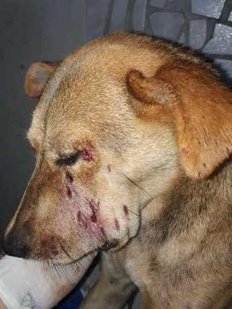 Levado para clínica particular, animal está internado (foto: SGPAN/Divulgação)