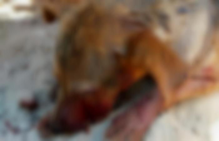 Cadela que era vista com frequência nas obras na estrada foi encontrada agonizando (foto: SGPAN/Divulgação)