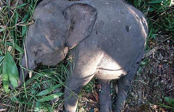 As presas do animal foram mantidas, o que indica que ele não foi abatido por caçadores (foto: Sabah Wildlife Department / AFP)