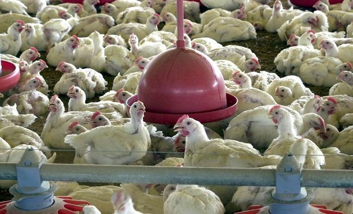 Exportação de carne de frango sofreu impacto por causa de sobretaxa da China. Foto: Arquivo/Agência Brasil
