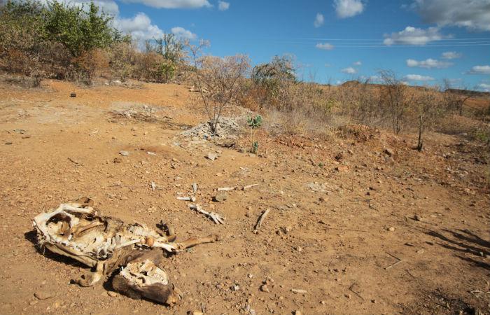 Animais morrem de sede no Sertão de Pernambuco Foto: Annaclarice Almeida/DP/D.A Press