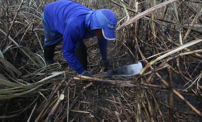Incremento na geração de empregos está associada à perspectiva de crescimento de pelo menos 12% na moagem da cana-de-açúcar. Foto: Teresa Maia/Arquivo DP