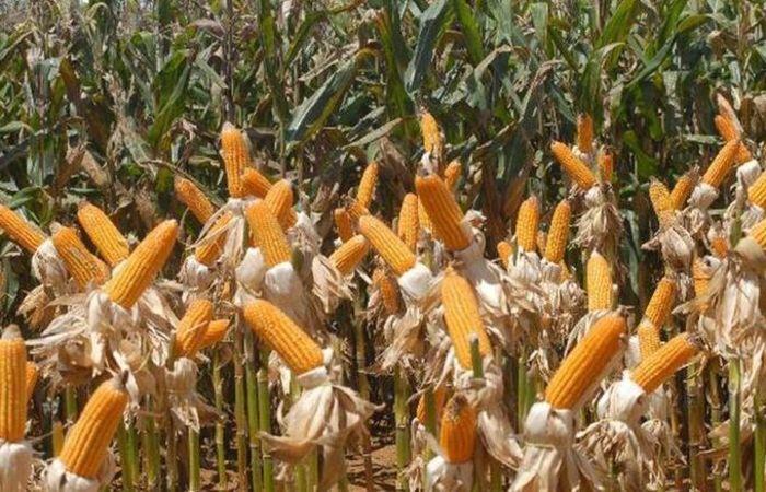 A área plantada do milho cresceu 10,4%,  o que elevou a produção em 52,3%, alcançado safra recorde de 97,7 milhões de toneladas. Foto: Elza Fiúza/Agência Brasil
