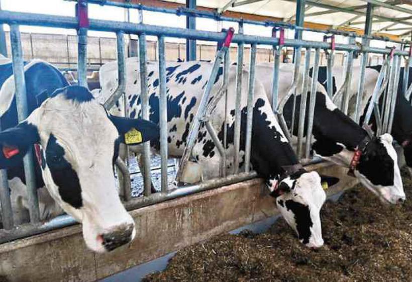 Fazenda da den Elder, na Europa, investiu na automação do processo de produção de leite com ganho de 10%. Foto: Paula Pacheco