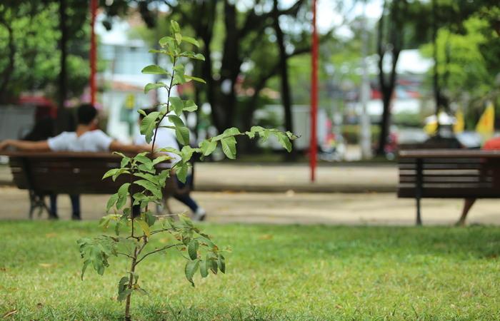 As mudas produzidas pelos moradores do Tejucupapo são cultivadas em espaços como praças e parques. Foto: Camila Pifano/Esp. DP.