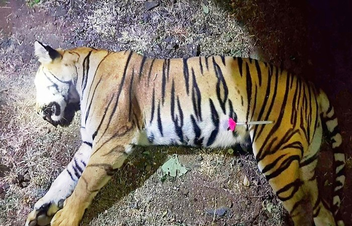 Animal, chamado T1 por caçadores e Avni por defensores da fauna, foi morto a tiros na floresta do estado de Maharashtra %u2014 Foto: MAHARASHTRA FOREST DEPARTMENT/AFP
