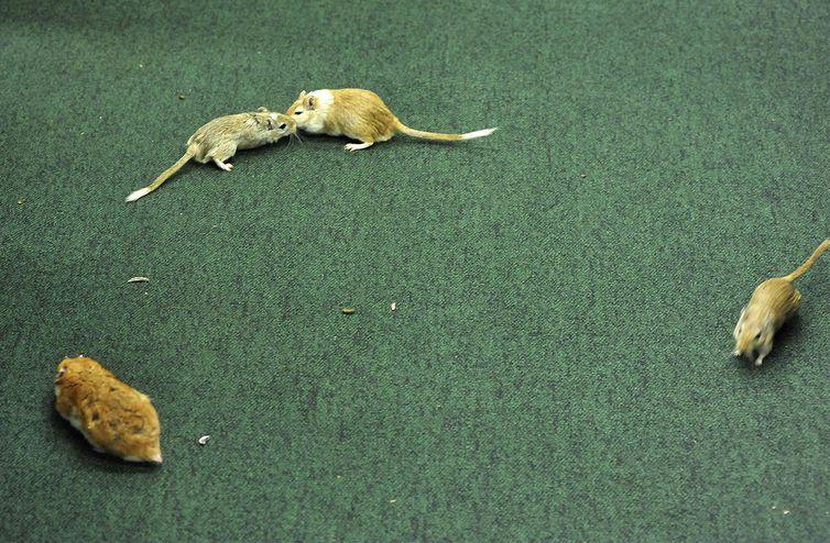 Pesquisa constatou que o extrato da casca da jabuticaba é capaz de combater o pré-diabetes e o aumento de gordura no fígado em camundongos. Foto: Luis Macedo/CD