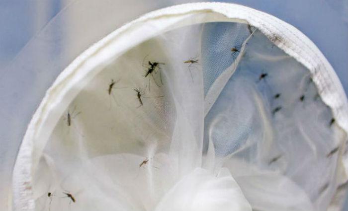 O mosquito Aedes aegypti. Foto: ONU/Aiea/Dean Calma (Foto: ONU/Aiea/Dean Calma)