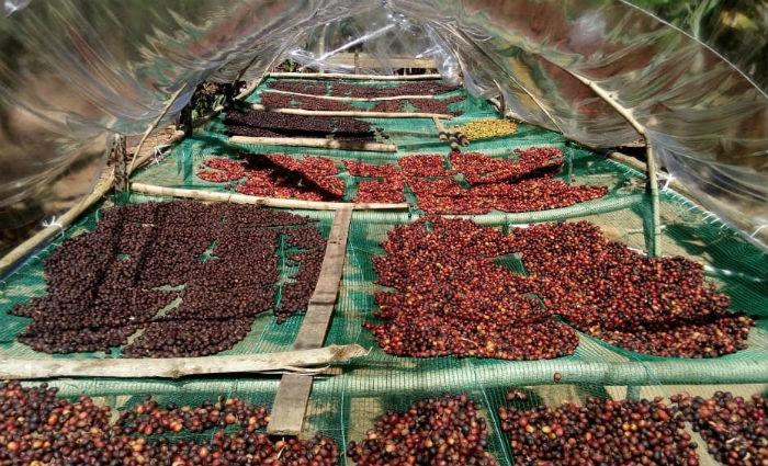 Sítio Lagoa Mariano colheu 31 sacas de café na safra deste ano. Crédito: Adaildo Carvalho/ Divulgação (Crédito: Adaildo Carvalho/ Divulgação)
