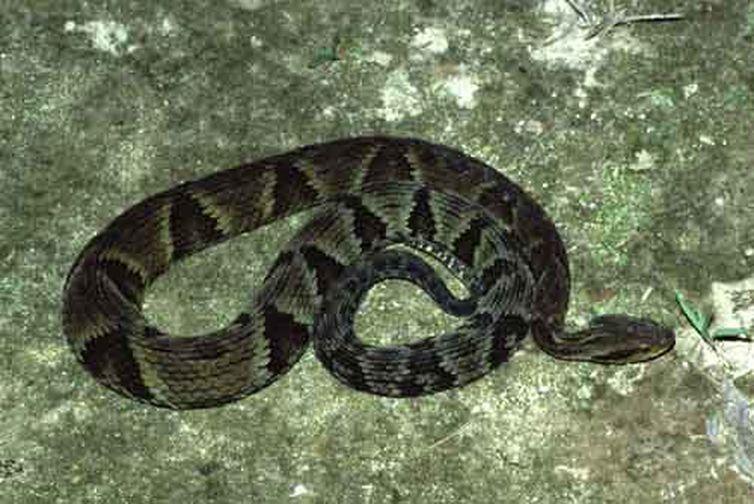O veneno da jararaca responde por cerca de 70% dos acidentes com serpentes peçonhentas no estado paulista. Foto: FioCruz/Direitos Reservados