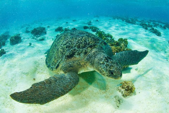 Aproximadamente 4,8 mil ninhos da tartaruga são encontrados no Brasil por temporada. Foto: Projeto Tamar/Divulgação.