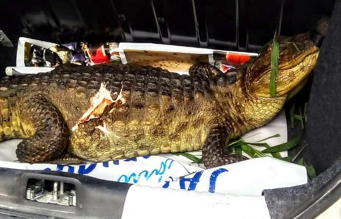O animal foi resgatado pela equipe da Secretaria Executiva de Meio Ambiente e Gestão Urbana (Semag). Foto: Divulgação