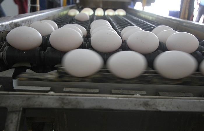 Os ovos sairão das granjas com o código, que informará a data de produção e o registro na Adagro. Foto: Nando Chiapppetta/DP Foto