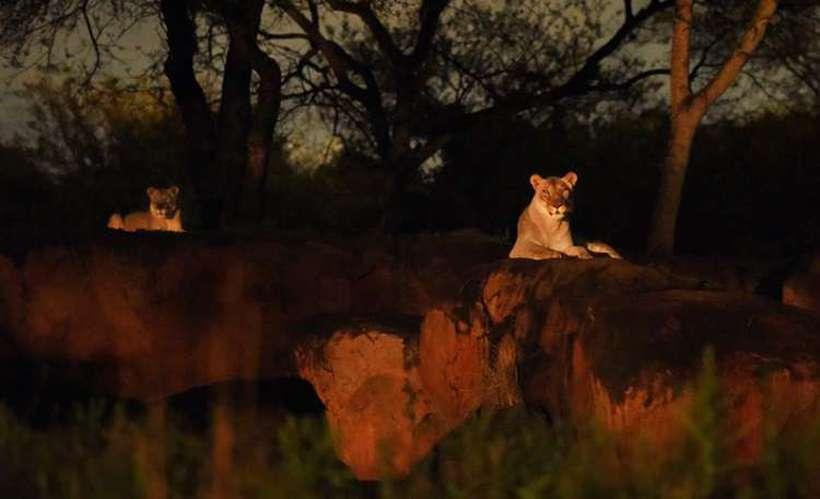 O homem escalou um muro de seis metros e entrou na área restrita, onde havia quatro leões do Zoológico Chhatbir, no estado de Punjab. Foto: Walt Disney Word/Divulgação