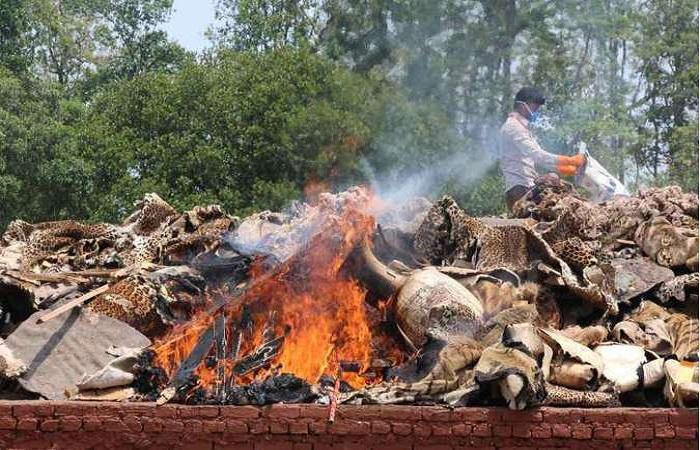 Em gesto contra o tráfico da vida selvagem, funcionário de parque no Nepal queima partes de bichos apreendidos de caçadores (foto: AFP) (Em gesto contra o tráfico da vida selvagem, funcionário de parque no Nepal queima partes de bichos apreendidos de caçadores (foto: AFP))